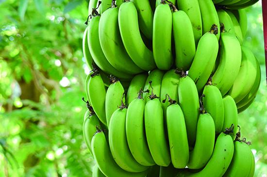 木になるグリーンバナナ